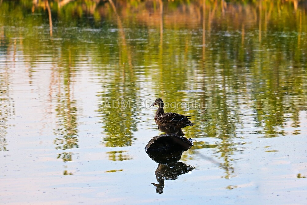 Mallard Duck on a Rock by Amber D Hathaway Photography