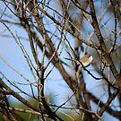 Female Blue Wren by reflector