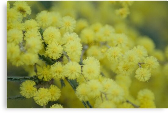 Silver Wattle by garts