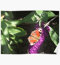 Red admiral Butterfly on Budlea Poster