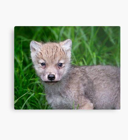 Arctic Wolf Pup Portrait  Metal Print