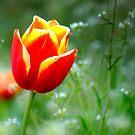 One tulip in the field by Hiroshi  Maeshiro