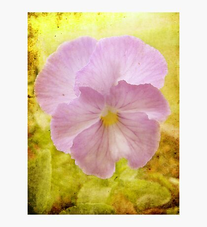 A Pretty Pansy (for Chelei) Fotodruck