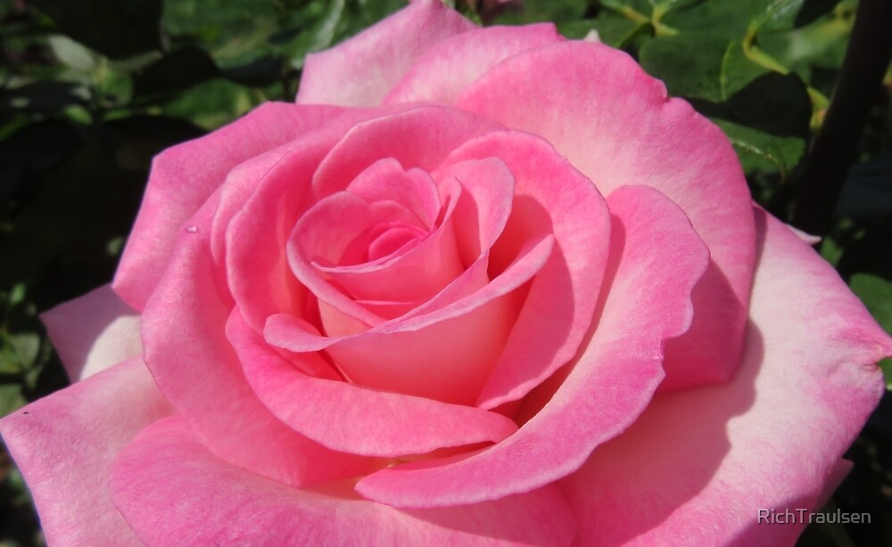 Pink Rose 8 2015 by RichTraulsen