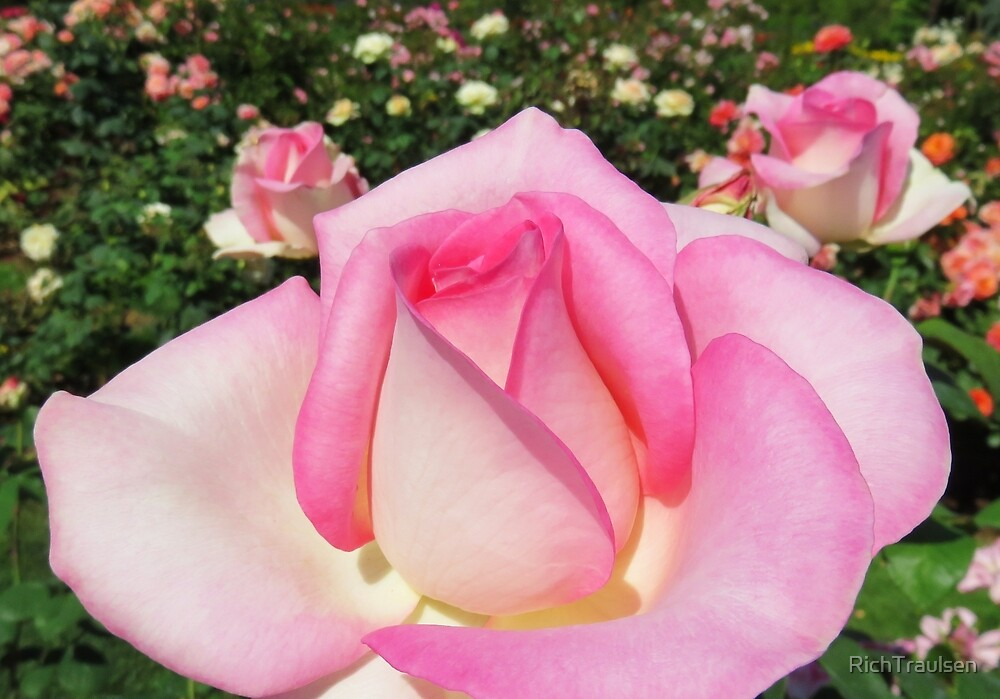 Pink Roses 8 2015 by RichTraulsen