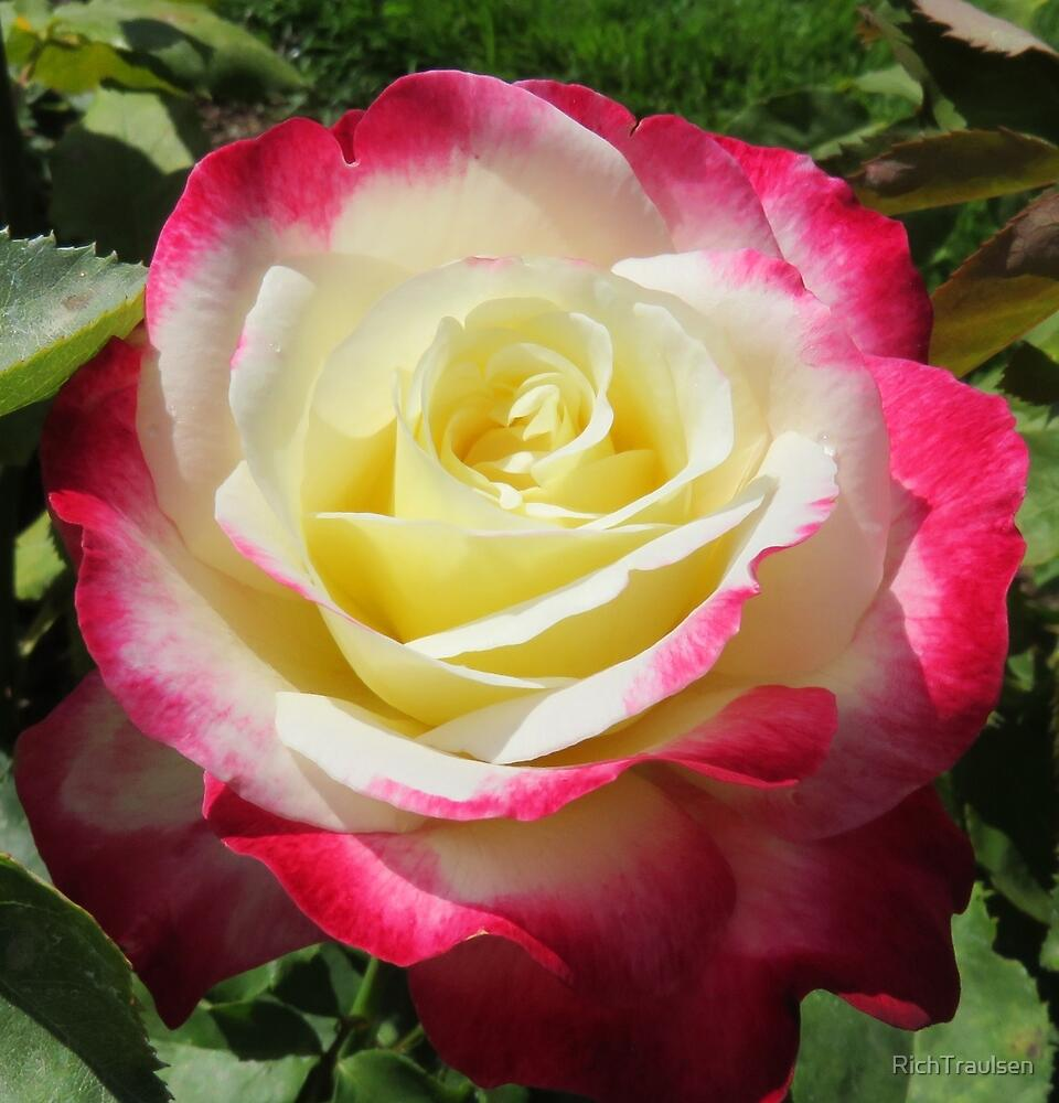 Yellow White and Pink Rose 8 2015 by RichTraulsen