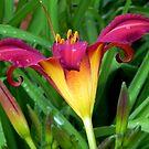 A Pretty Lily!!! © by Dawn Becker