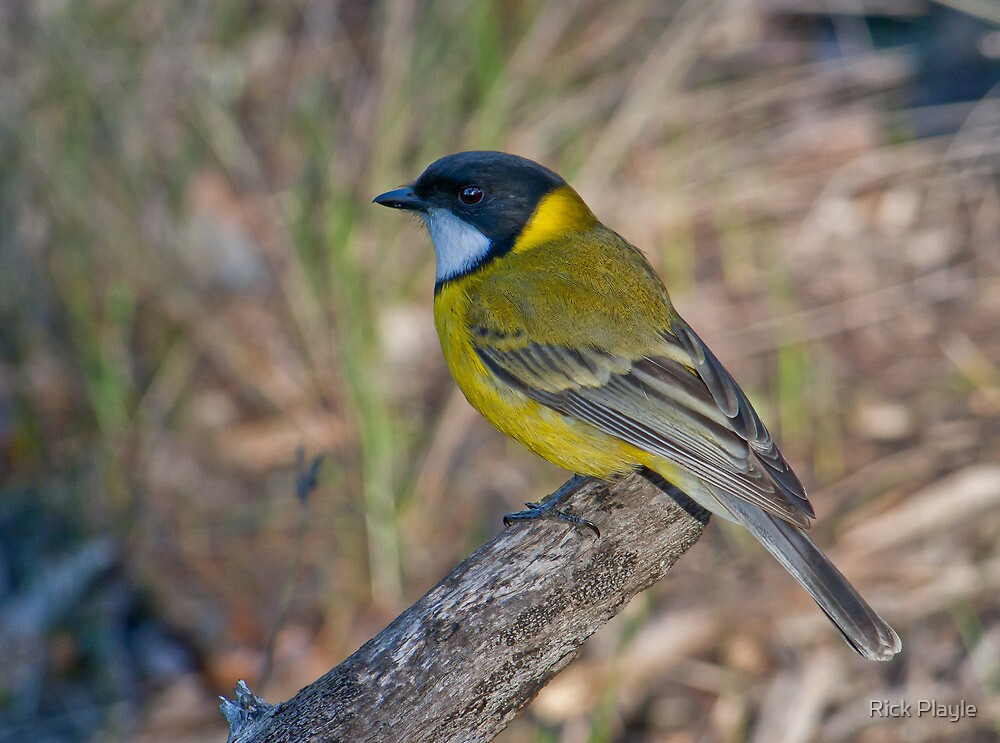 Golden Whistler by Rick Playle
