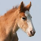 Clydesdale Foal by DigitallyStill