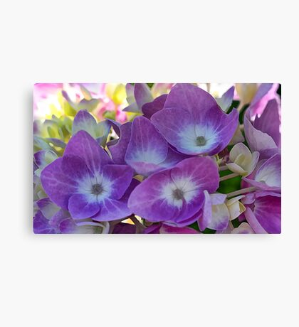 Lavender Hydrangea Blossoms - Early Morning Light Canvas Print
