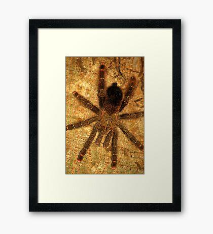 Pink Toe Tarantula (Avicularia avicularia) - Bolivia Framed Print