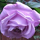 Demure Rose von BlueMoonRose