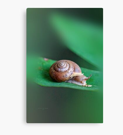 Woodland Snail on Sassafras Leaf Canvas Print
