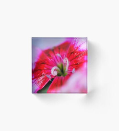 Dianthus carzophyllus close-up Acrylic Block