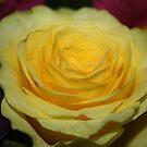 soft yellow rose by Jodie  Davison