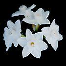 Daffodils by Catherine Davis
