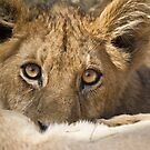 Lion cub feeding by Neville Jones