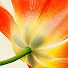 Orange Tulip by Beth Mason