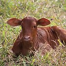 """""""Oh, a baby cow!""""  by aussiebushstick"""