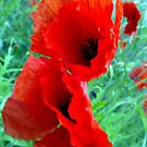 """""""Last of the poppies"""" by technochick"""