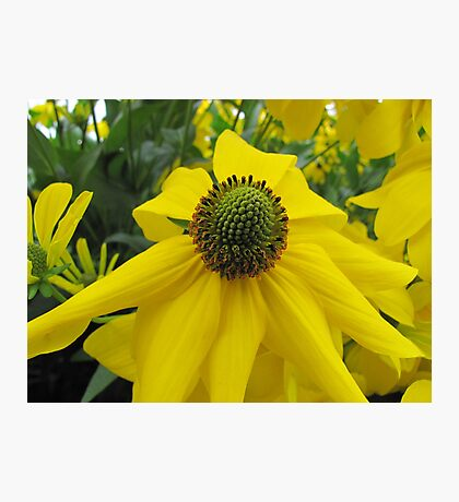 Asteraceae Photographic Print