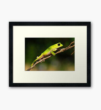 Bolivian Monkey Tree Frog (Phyllomedusa boliviana) - Bolivia Framed Print