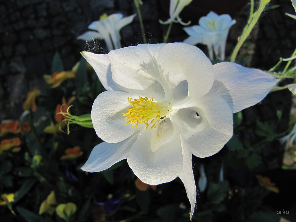 White Aquilegia by orko