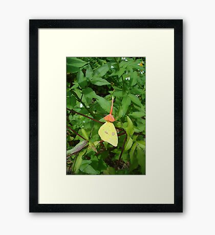 Cloudless Sulphur butterfly in Mahogany Vine Framed Print