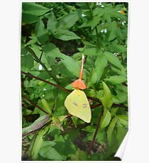 Cloudless Sulphur butterfly in Mahogany Vine Poster