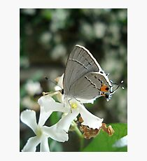 Gray Hairstreak on Jasmine Photographic Print