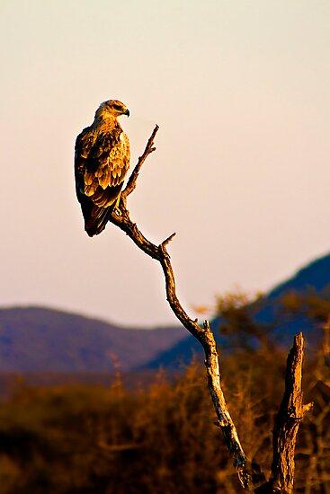 Tawny Eagle by Damienne Bingham