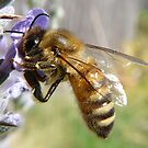 bee on a lavender flower by tego53