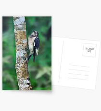 Fledging Red Headed Woodpecker Postcards