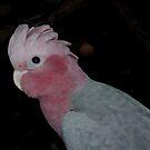 My Bailey ..... Pink and Grey Galah ....Western Australia by Toni Kane