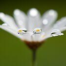 Daisy dream II by Melinda Gaal