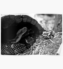 Snake in black & white Poster