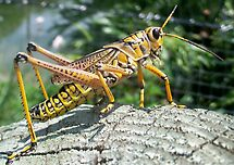 The Lone Grasshopper by Shaun  Gabrielli
