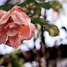 Wilted Pink Rose by Lauren Neely