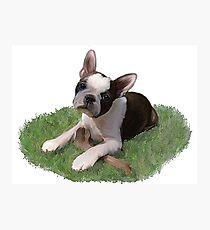 Beans the Boston Terrier Photographic Print