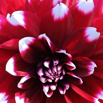 Red Dahlia by KarDanCreations