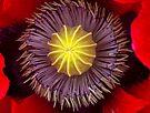 Heart of a Poppy by Ray Clarke
