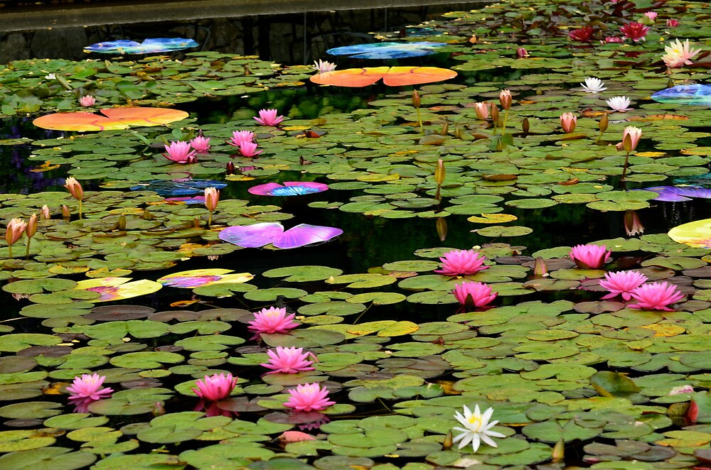 Water Lily Pond...Lotus-in-Motion Art by Carol Clifford