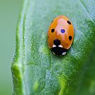 7 Spotted Ladybird by Elaine123