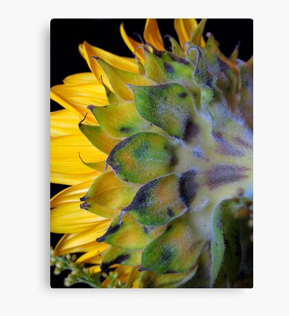 Sunflower, turns away! Canvas Print