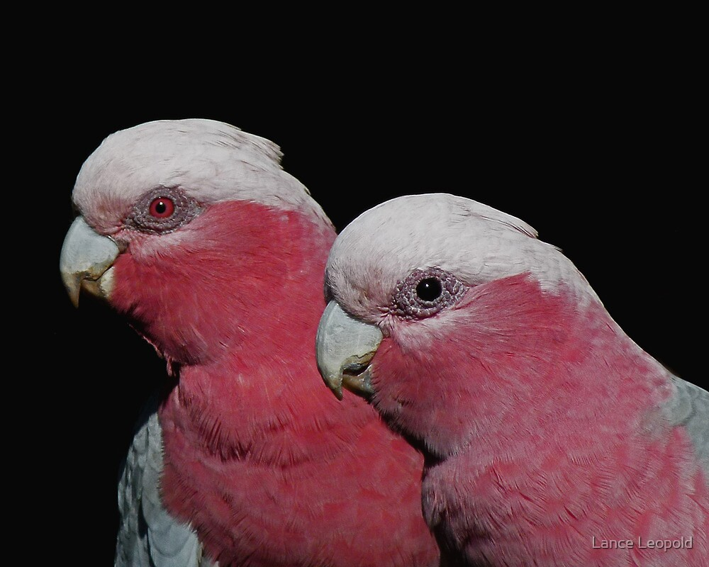 Quot Mr And Mrs Galah Quot By Lance Leopold Redbubble