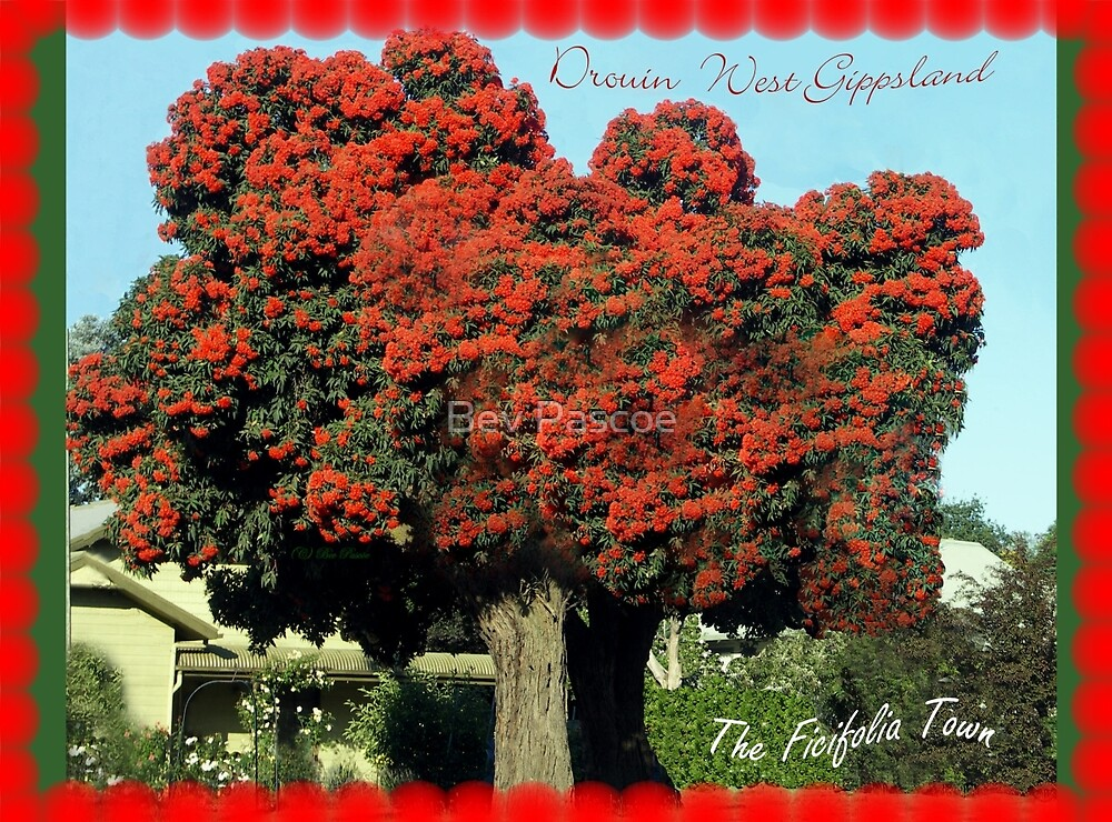 Red Ficifolia Tree with border, Princes Way, Drouin  by Bev Pascoe