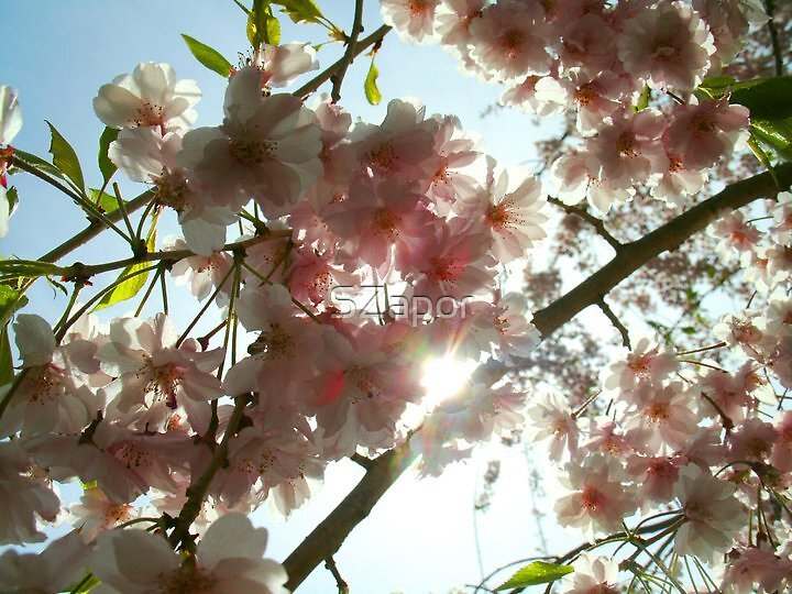 Cherry Sun by SZapor