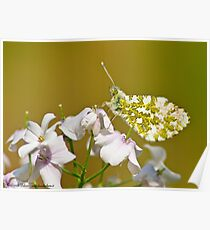 Anthocharis cardamines Poster