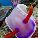 Purple Nudibranch by Carlos Villoch