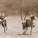 Dueling Gemsbok by Donald  Mavor